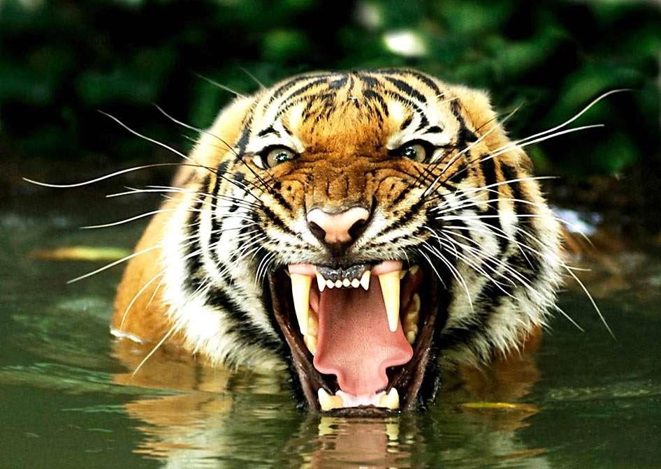 Tygrys bengalski - Tygrysy występują w Azji, w małych, izolowanych populacjach na obszarze między Indiami a Wietnamem i Tajlandią oraz w Chinach, na wschodzie Rosji i na Sumatrze (11×7)