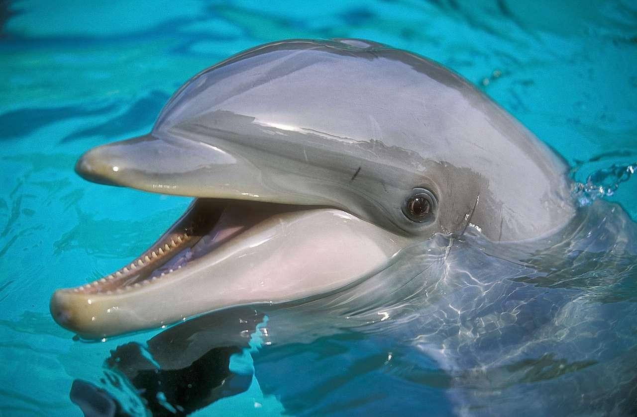 Delfin -  (12×8)