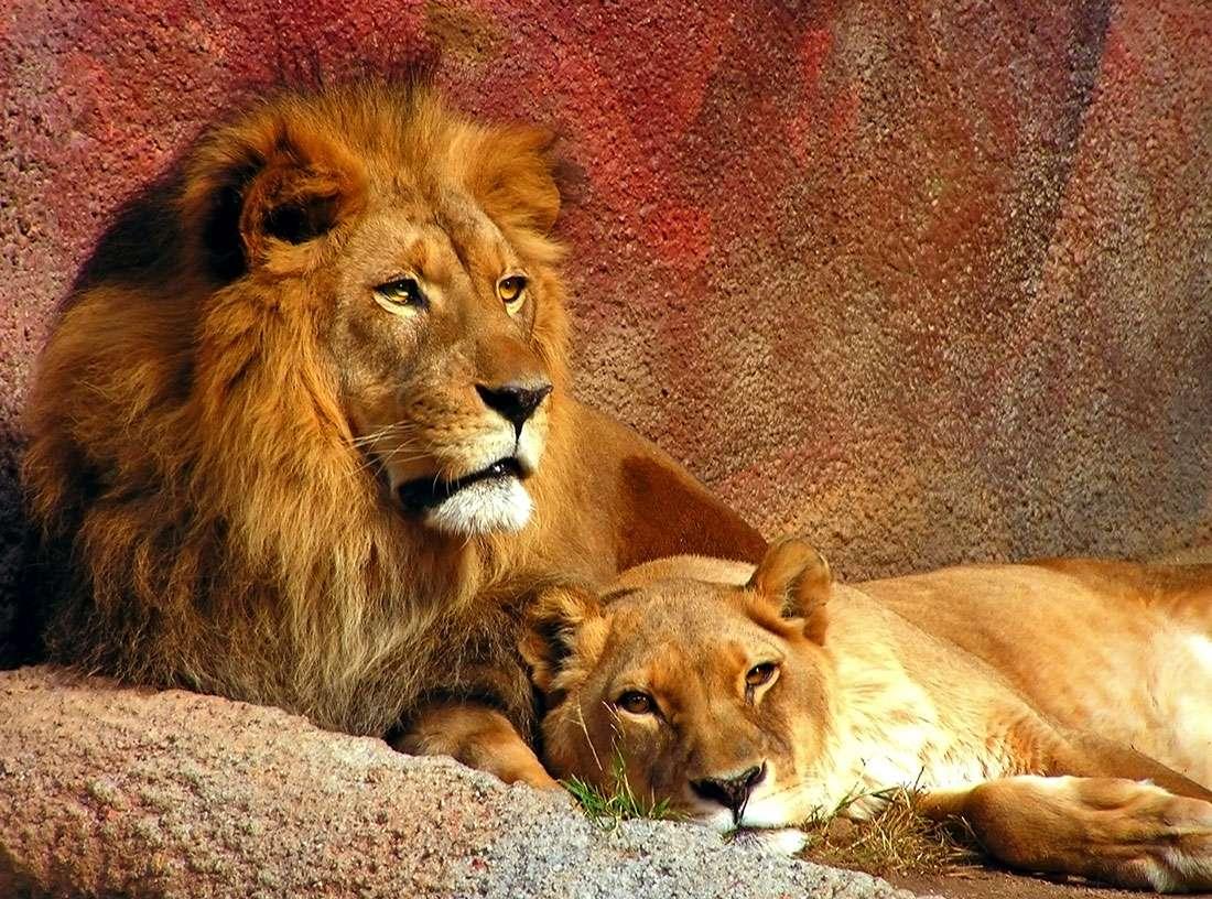 Lew i lwica - Lew należy do czwórki tzw. wielkich kotów. Pod względem wielkości zajmuje drugie miejsce, po tygrysie. Średnia waga samca wynosi 150-225 kg, a samice osiągają 120-150 kg. Samiec jest łatwo ro (11×8)