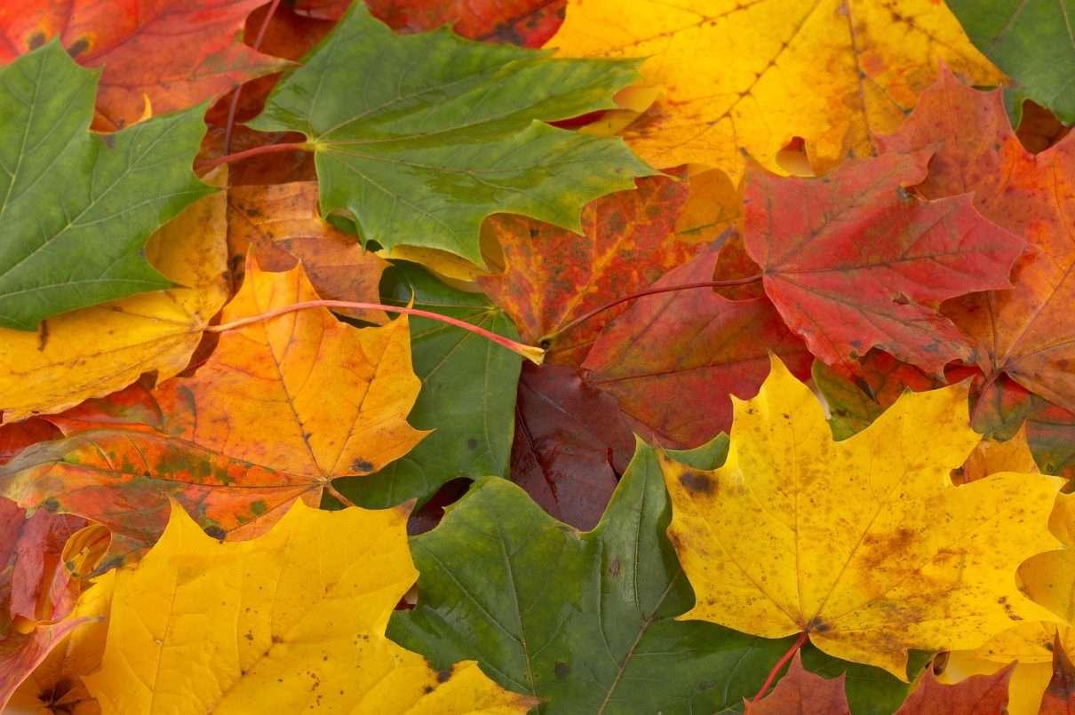 Jesienne kolory - Niesamowite barwy jesieni. Liście klonu przybierają piękne kolory jesienią (11×7)