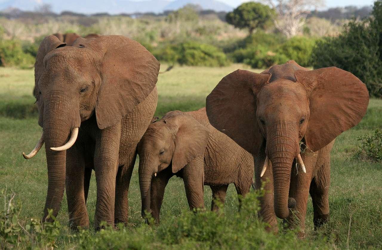 Słonie afrykańskie - Słoń afrykański to największy ze współcześnie żyjących gatunków ssaków lądowych. Zamieszkuje afrykańską sawannę, lasy i stepy od południa kontynentu aż do jego północnych krańców (14×9)