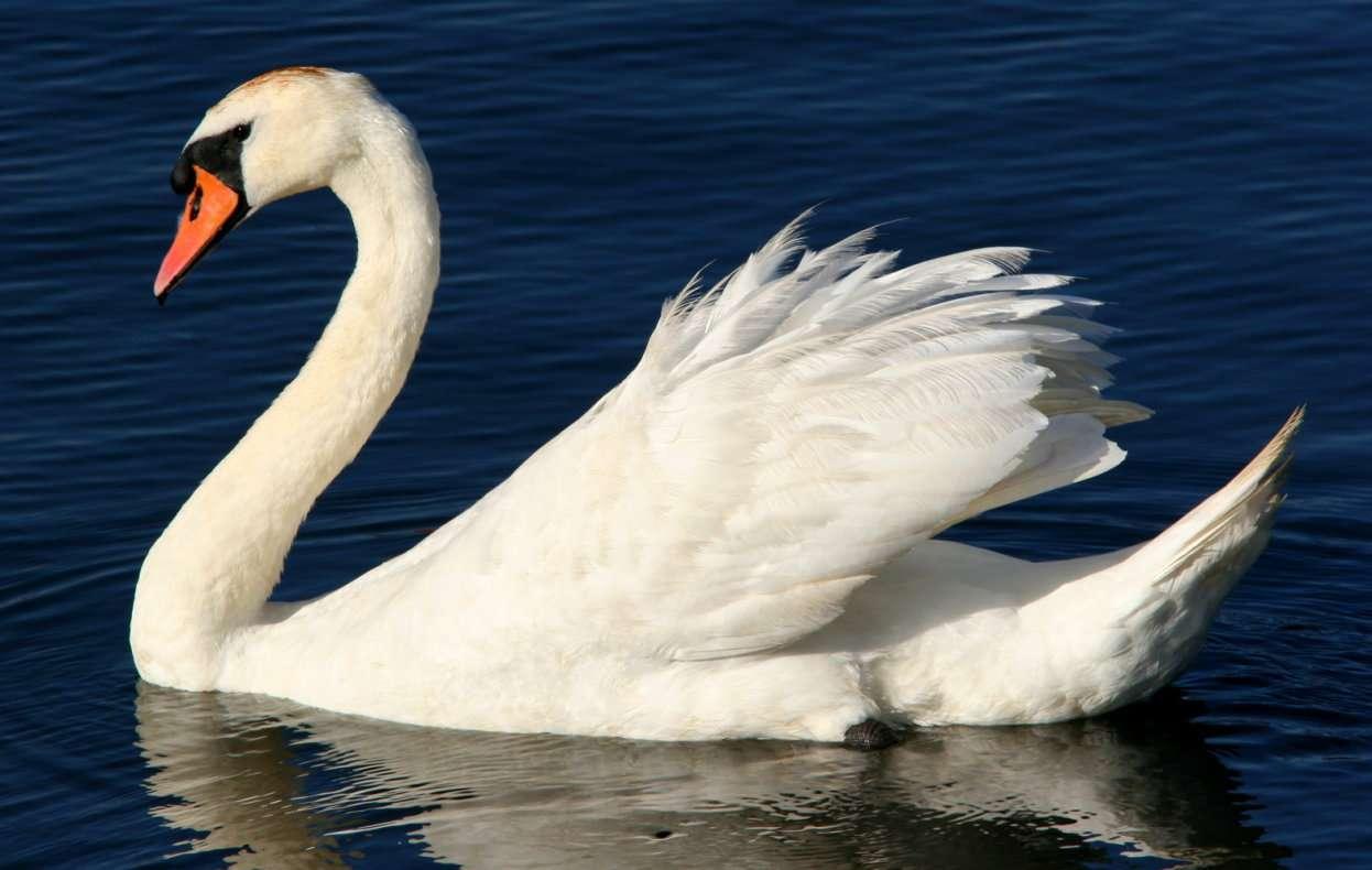 Łabędź niemy - Łabędź niemy (Cygnus olor) to popularny w Polsce ptak wodny. Łabędzie zamieszkują Europę i Azję. Są to ptaki wędrowne, zimujące w południowej Europie, północnej Afryce oraz południowej (7×5)