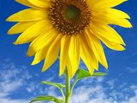 Słonecznik puzzle online