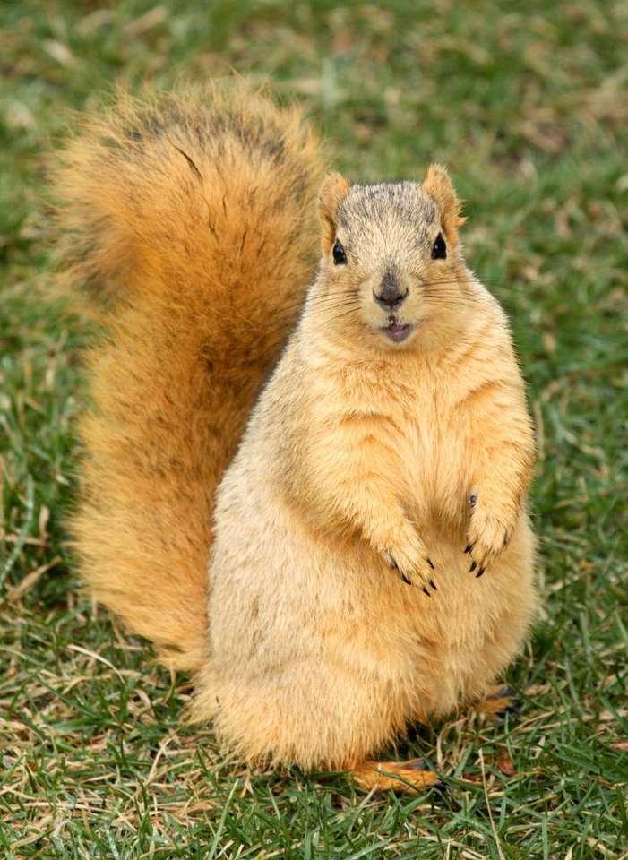 Wiewiórka - Wiewiórkowate są rodziną ssaków żyją prawie na całym świecie, poza Australią. Wyróżnia się bardzo wiele gatunków wiewiórek, różniących się trybem życia i wyglądem. W Polsce występ (5×8)