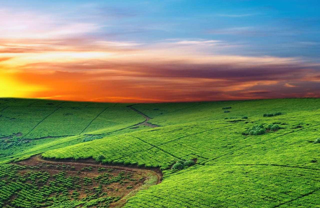Plantacja herbaty (Uganda) - Plantacje herbaty można spotkać głównie w wielu krajach strefy zwrotnikowej, jednakże niektóre gatunki mogą być uprawiane także w klimacie morskim, nawet w Wielkiej Brytanii. Historia herbaty (10×6)