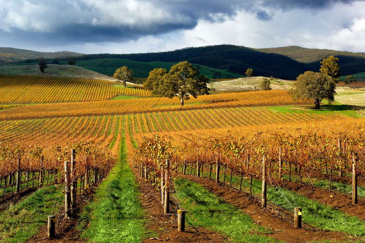 Winnica w jesienny dzień (Australia) - Winnica jest miejscem nieodzownie kojarzącym się z winem. Nie można jednak zapominać, że to także w winnicach rosną winogrona do codziennego spożycia a także do produkcji rodzynek czy soku wi (20×13)