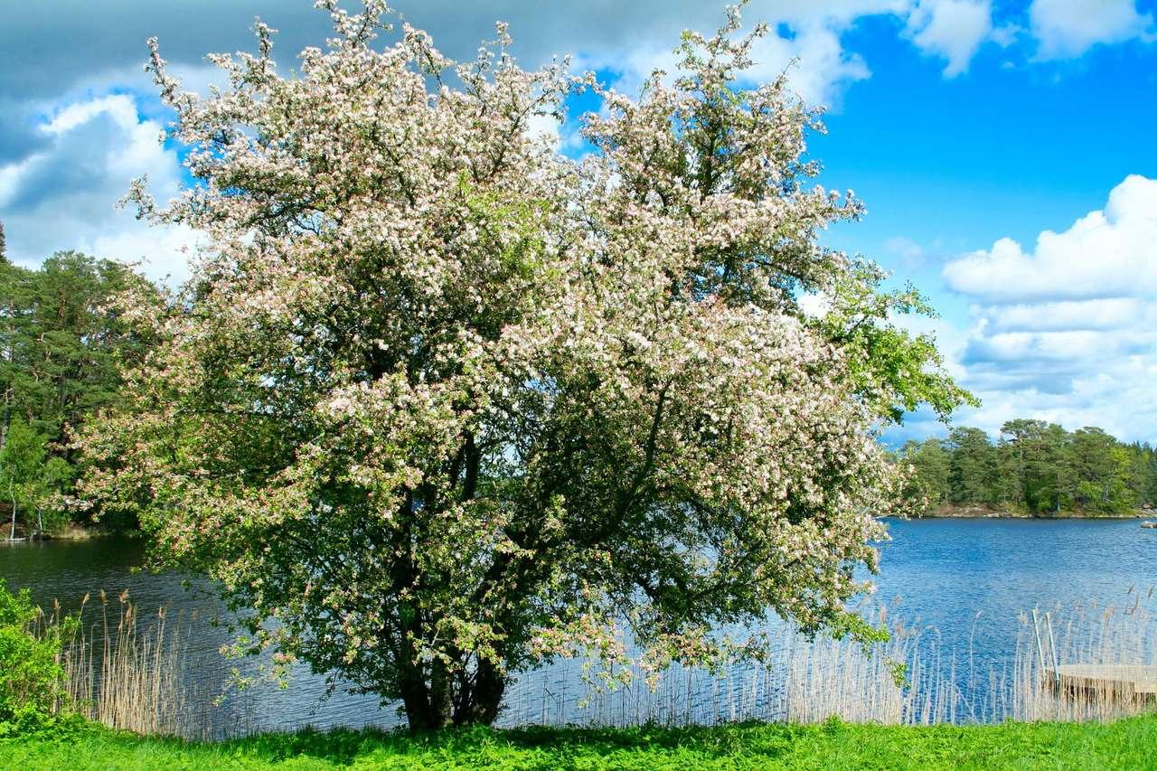 Kwitnąca jabłoń - Kwitnące drzewo jabłoni nad brzegiem jeziora. Kwiaty jabłoni są pięciopłatkowe, zaś płatki mają charakterystyczną biało-różową barwę. Drzewo obsypane kwiatami wiosną obficie zaowocuje (9×6)