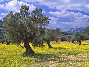 Gaj Oliwny (Izrael)