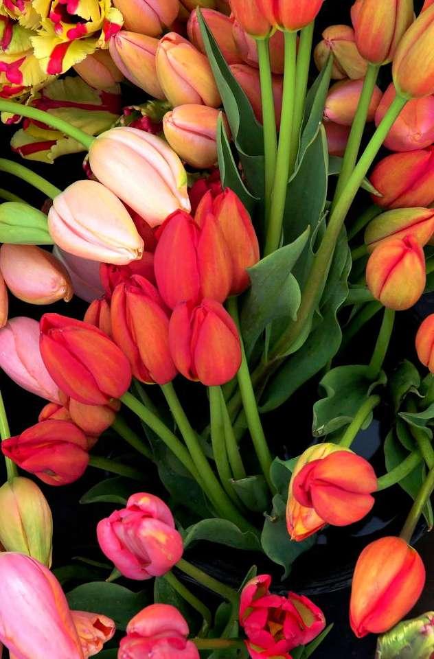Tulipany - Wśród tulipanów wyróżnia się około 120 gatunków i 15 tysięcy odmian. Od wieków różne gatunki tulipanów były krzyżowane, by uzyskać nowe odmiany. Nazywane są one często nazwiskami zna (8×12)