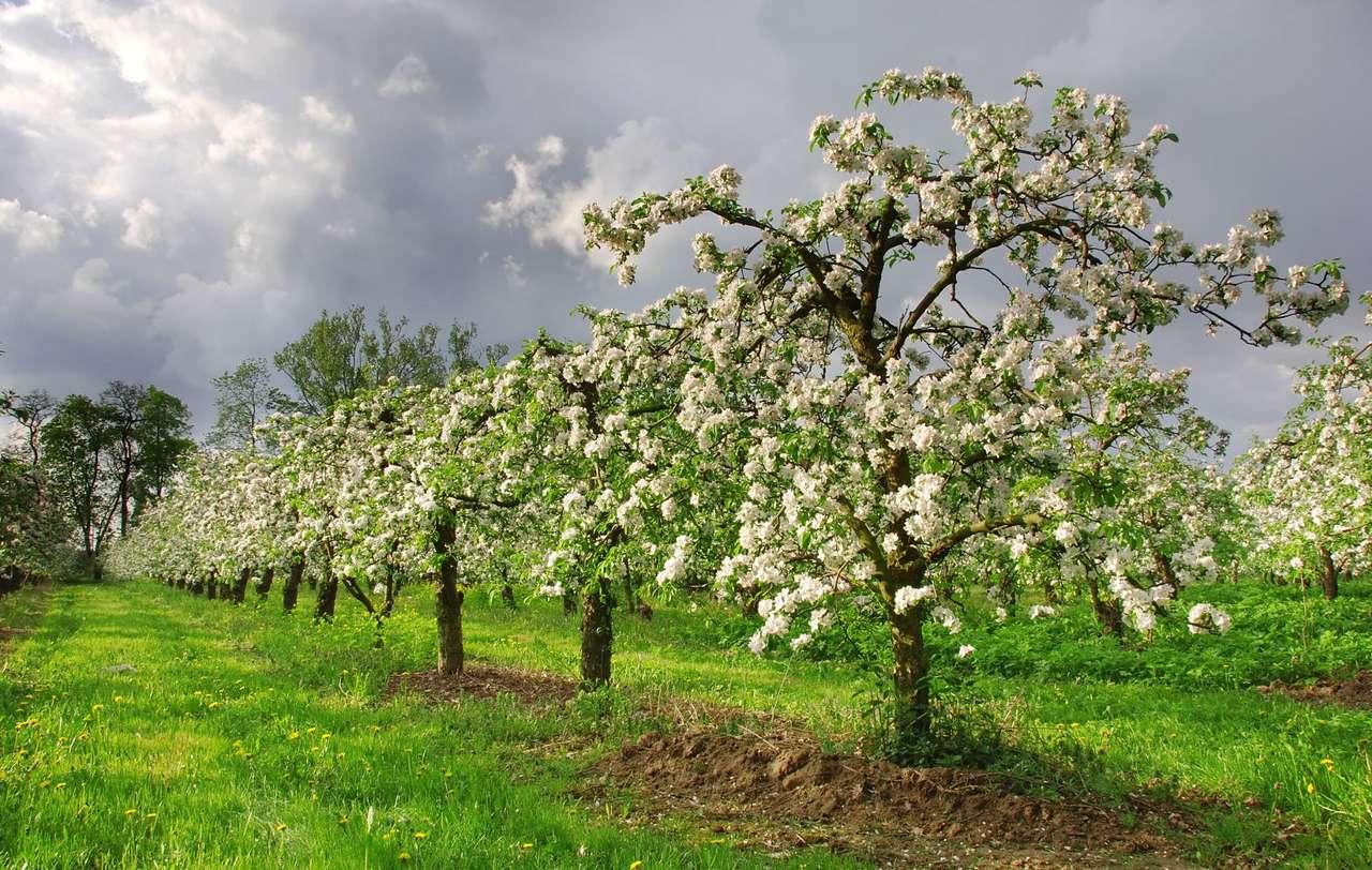 Jabłonie w sadzie - Jabłonie to popularne drzewa wśród sadowników. Trudno się temu dziwić, wszak jabłka to bardzo smaczne i wartościowe owoce. Świeże jabłka można jeść przez cały rok, a często przerabia s (10×6)