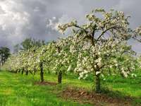 Jabłonie w sadzie