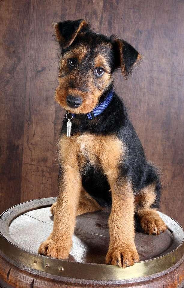 Airedale terrier - Ośmiotygodniowy szczeniak rasy airedale terrier. Nazwa rasy pochodzi od rzeki Aire w hrabstwie Yorkshire. Psy tej rasy bardzo chętnie uczą się. Mają także wrodzone zamiłowanie do wody i świetn (5×7)