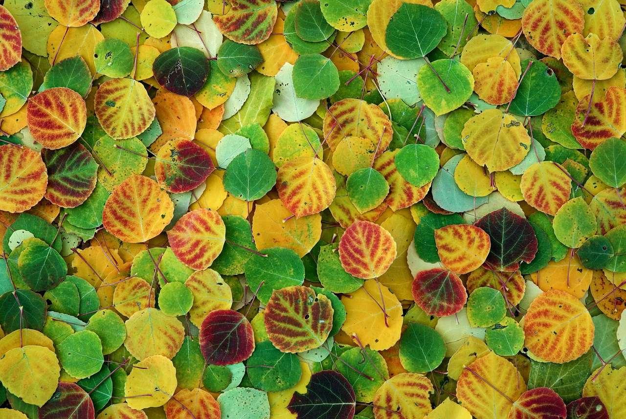 Jesienne liście topoli - Topola należy do rodziny wierzbowatych. Rozróżnia się około 40 gatunków topól. Drewno topoli jest wykorzystywane najczęściej do produkcji papieru (17×11)