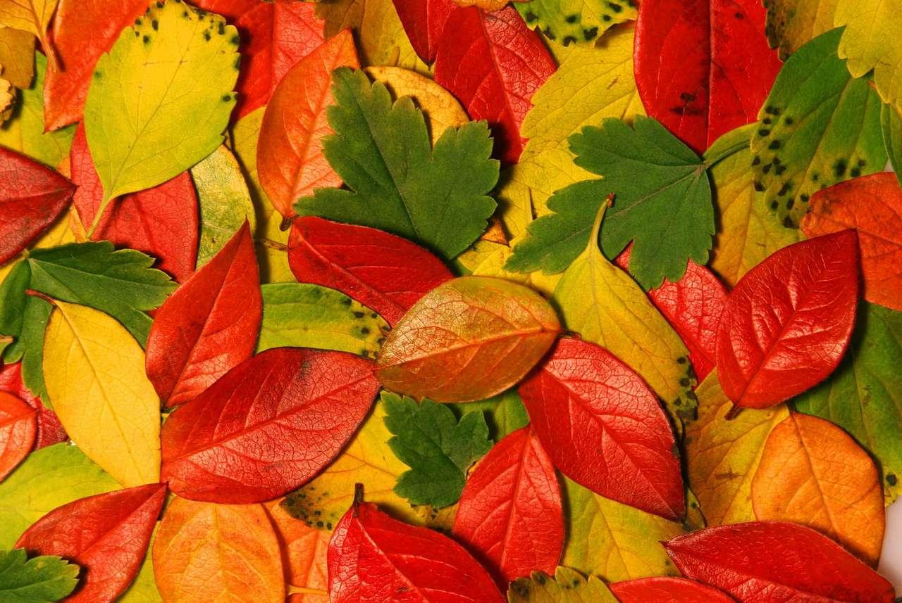 Kolorowe liście - Jesienią liście na drzewach zmieniają kolor. Dzieje się tak ze względu na mniejszą ilość substancji odżywczych i światła docierających do liści. Chlorofil, dający soczysty, zielony kolor (11×7)