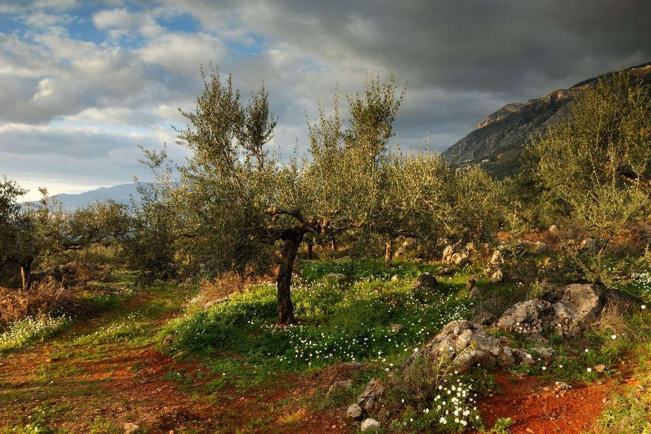 Gaj oliwny po burzy (Grecja) - Gaj oliwny na Półwyspie Peloponeskim tuż po burzy. Oliwki uprawia się w basenie Morza Śródziemnego od wieków. Są one bardzo bogate w związki mineralne, przede wszystkim fosfor, potas i żelaz (14×9)