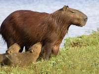 Karmiąca kapibara