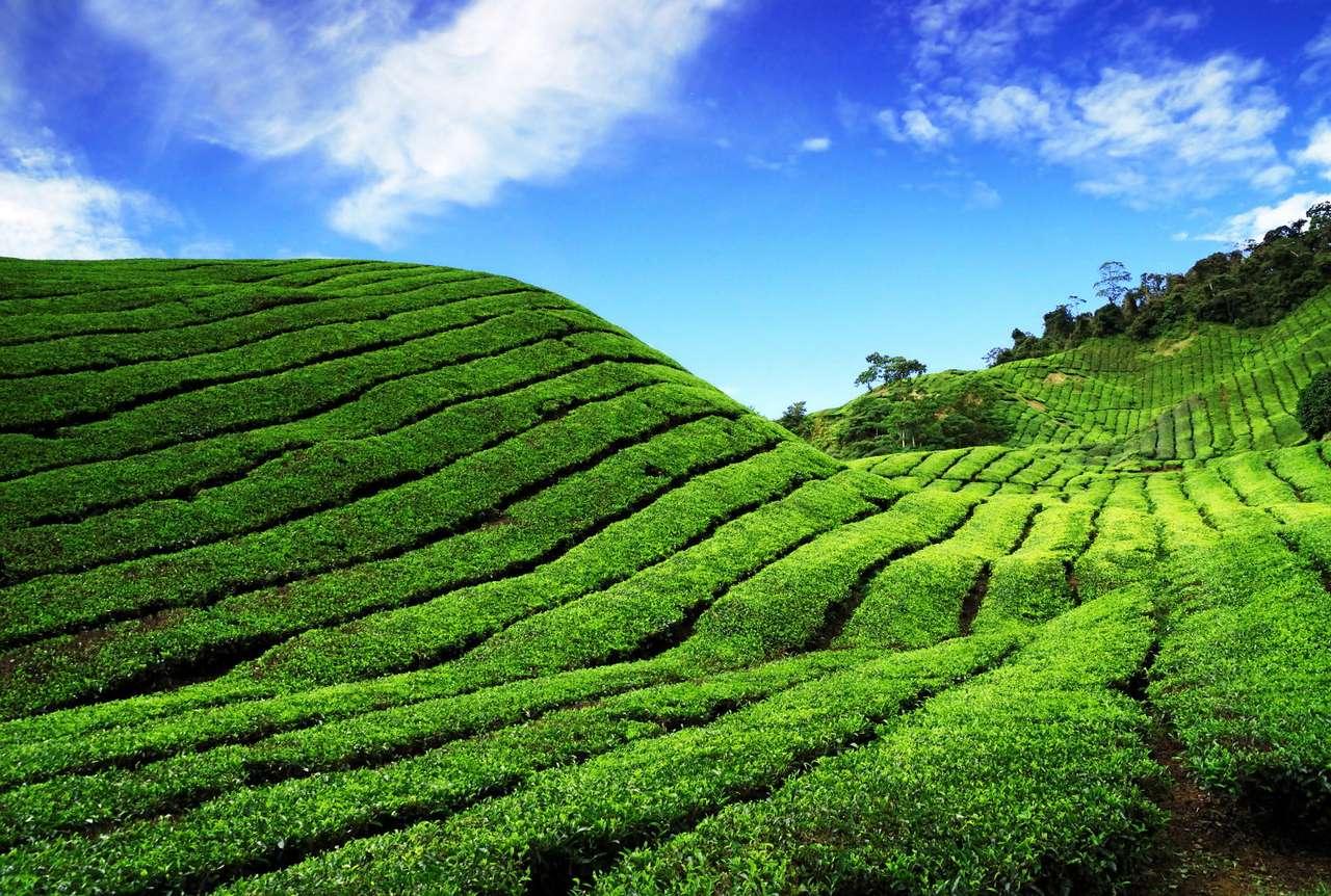 Plantacja herbaty (Malezja) puzzle ze zdjęcia