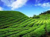 Plantacja herbaty (Malezja)