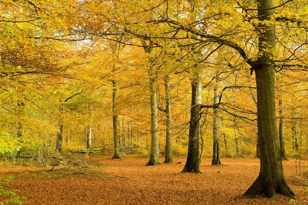 Las bukowy jesienią - Lasy bukowe (czyli tzw. buczyny) występują w Europie Środkowej, ale tylko tam, gdzie panuje wilgotny i łagodny klimat, głównie na nizinach i w niższych partiach gór. Są to specyficzne środow (10×7)