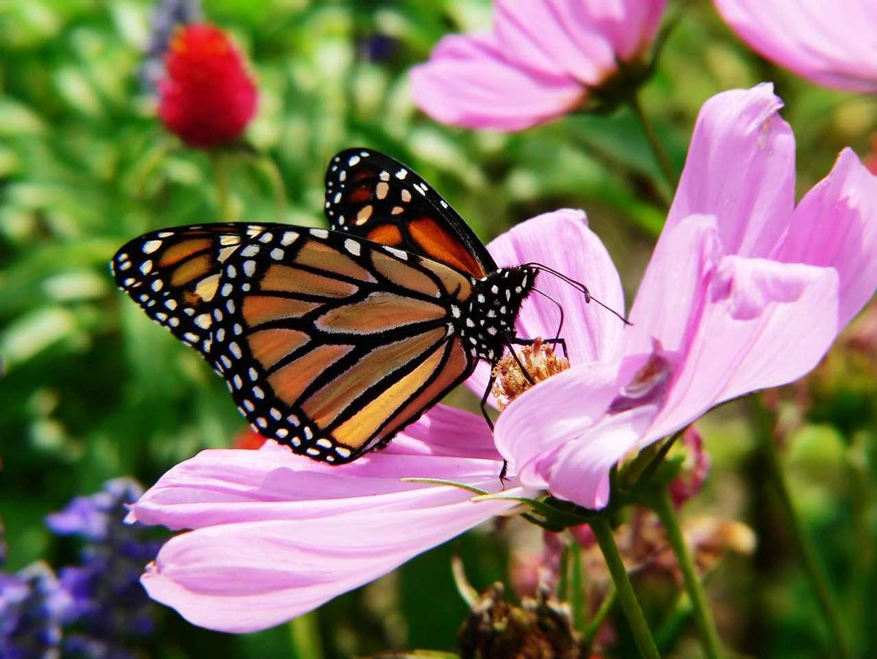 Motyl - monarch - Danaid wędrowny, nazywany także monarchem, jest motylem o bardzo dużym zasięgu występowania. W czasie jednej migracji motyle te mogą pokonać nawet do 3000 km. Na zimowiska danaidy wybierają so (11×8)