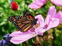 Motyl - monarch