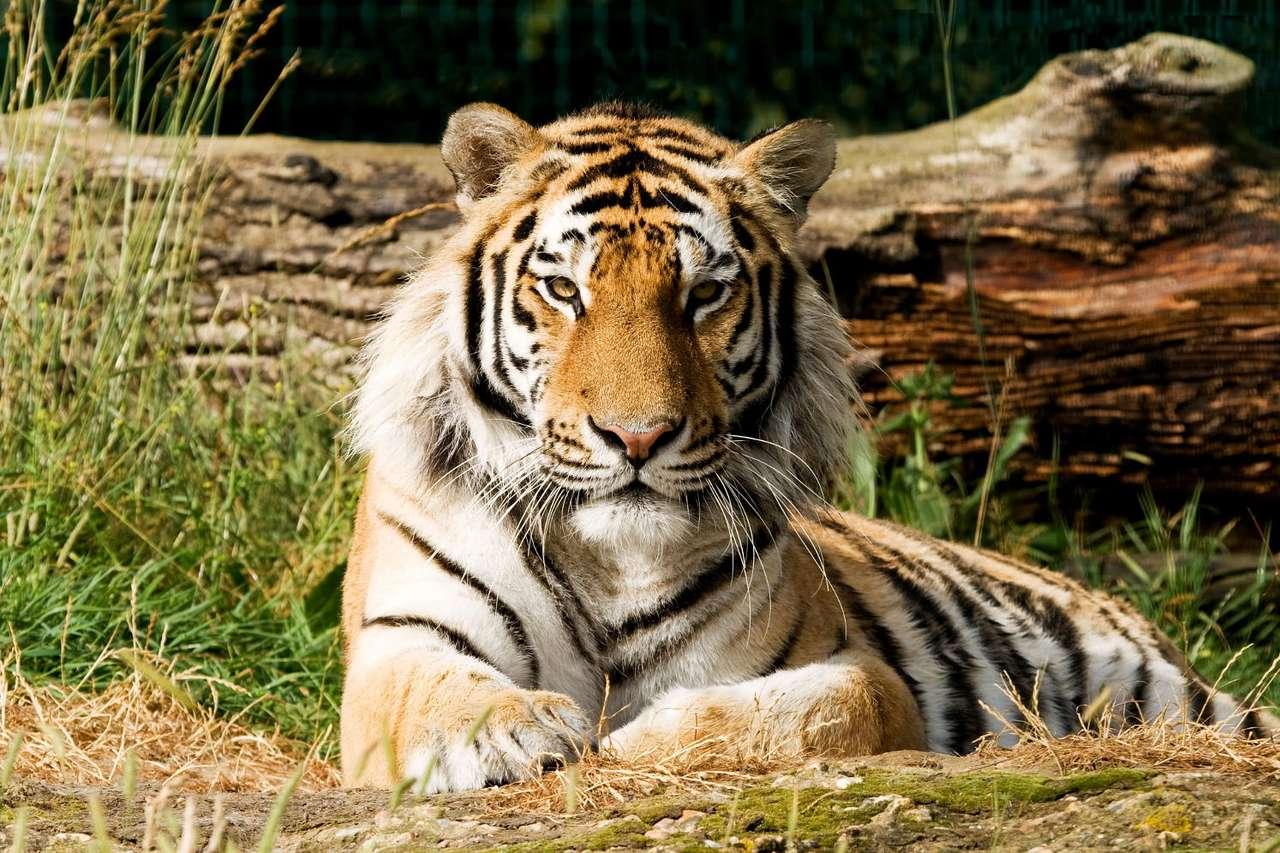 Tygrys bengalski - Tygrys bengalski to jeden z największych współcześnie występujących podgatunków tygrysa. Samce osiągają długość do 290 cm i masę 220–230 kg, samice są nieco mniejsze - osiągają do 25 (9×6)