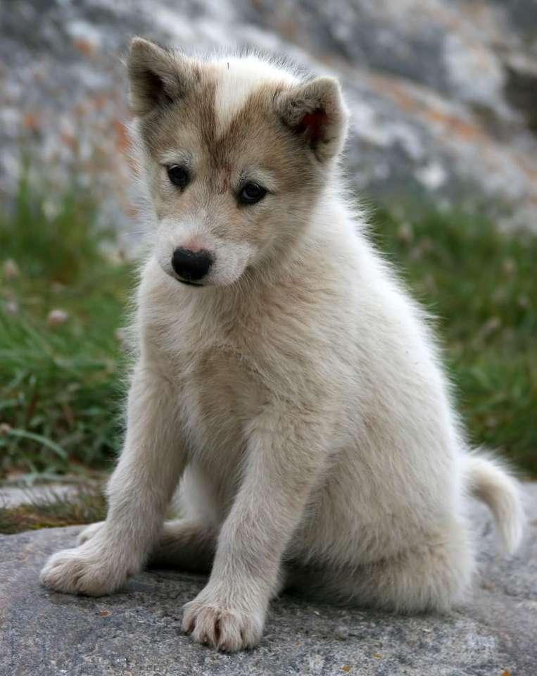 Szczenię psa grenlandzkiego - Pies grenlandzki to jedna z ras psów zaklasyfikowanych do sekcji północnych psów zaprzęgowych. Psy grenlandzkie, od wieków hodowane na Grenlandii przez Eskimosów w celach pociągowych oraz myś (8×6)