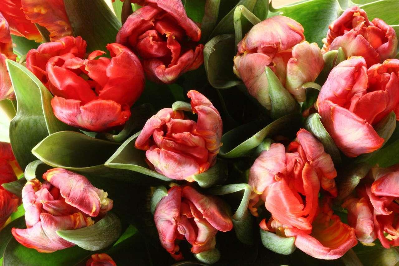 Tulipany - Tulipany to rośliny cebulowe należące do rodziny liliowatych. Do tego rodzaju zalicza się ok. 120 gatunków i aż 15 tysięcy odmian. Tulipany naturalnie występują w Europie południowej, półn (14×9)