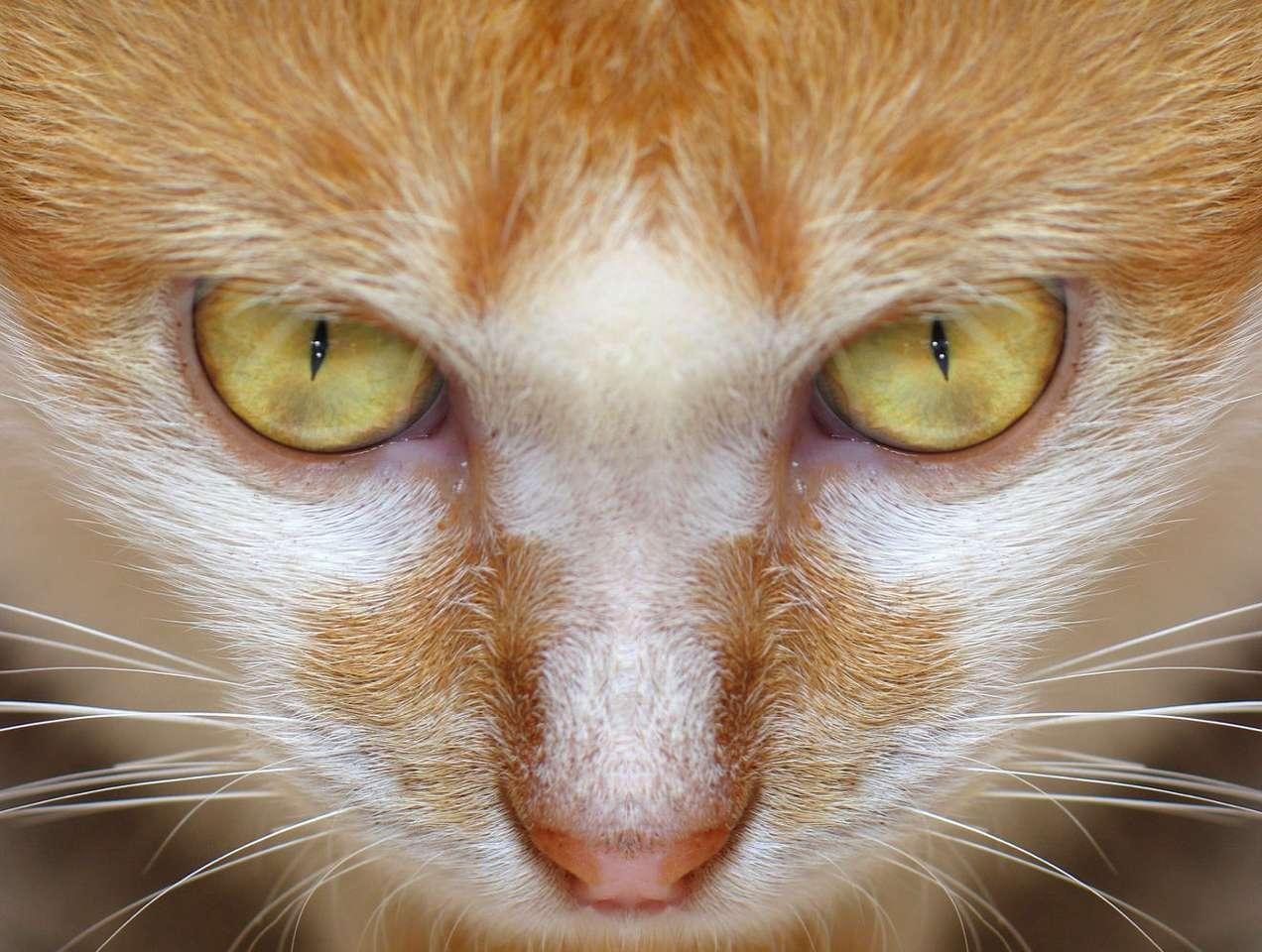 Kot domowy puzzle ze zdjęcia