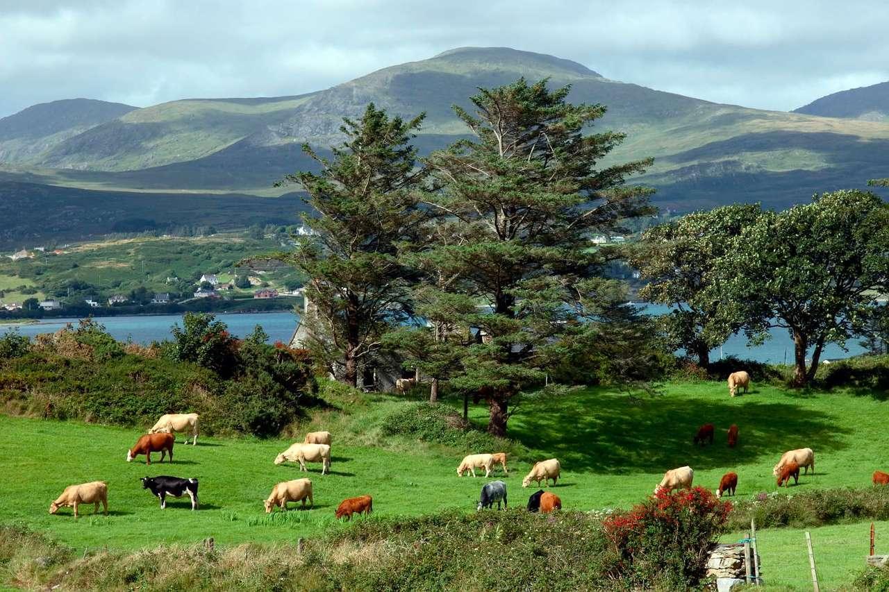 Wypas bydła na łące w Irlandii