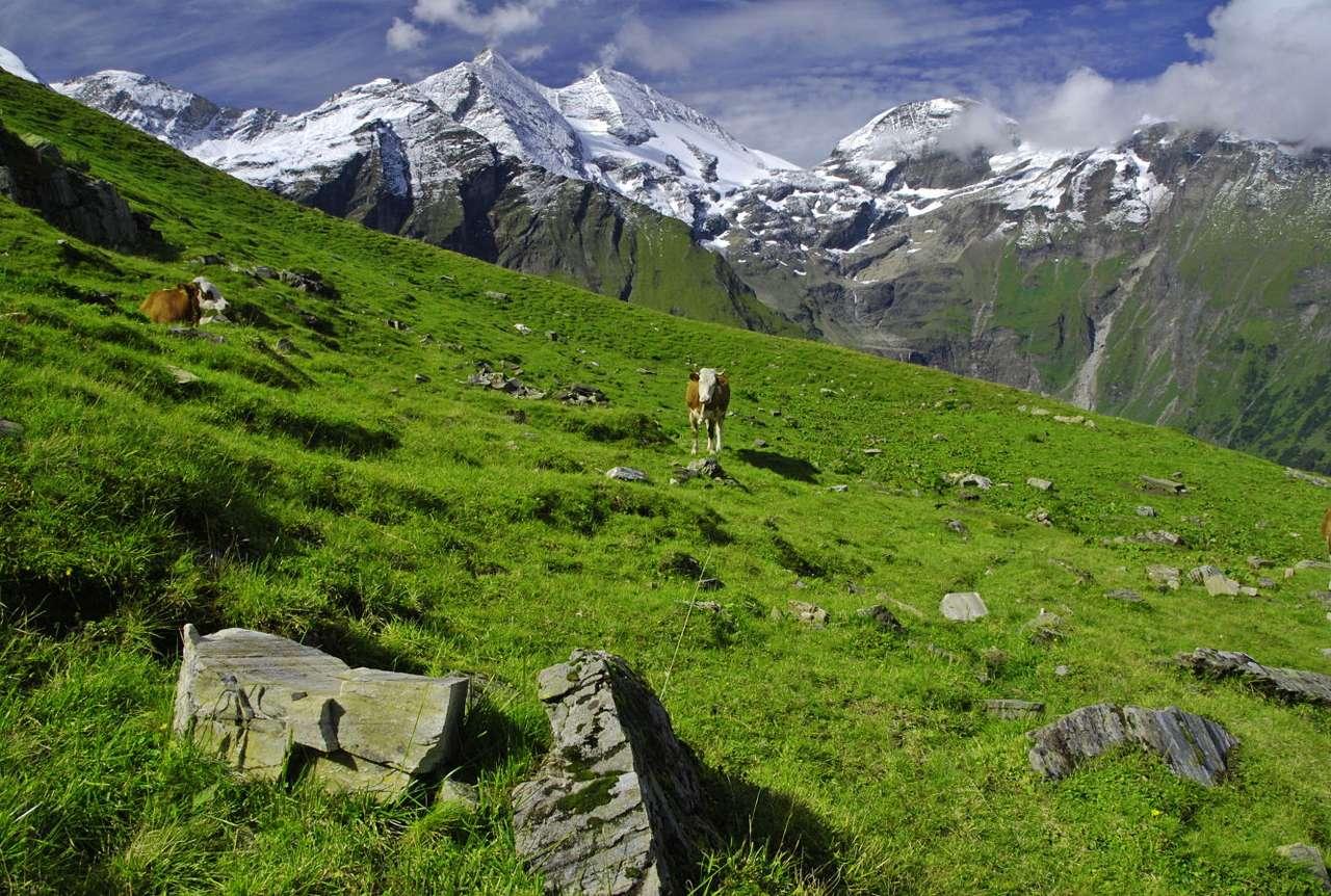 Górskie pastwisko w Alpach - Znajdujące się na zboczach alpejskich szczytów łąki od najdawniejszych czasów wykorzystywane były jako pastwiska. Wypas różnych gatunków zwierząt - krów, owiec i kóz - miał niegdyś ogro (11×7)
