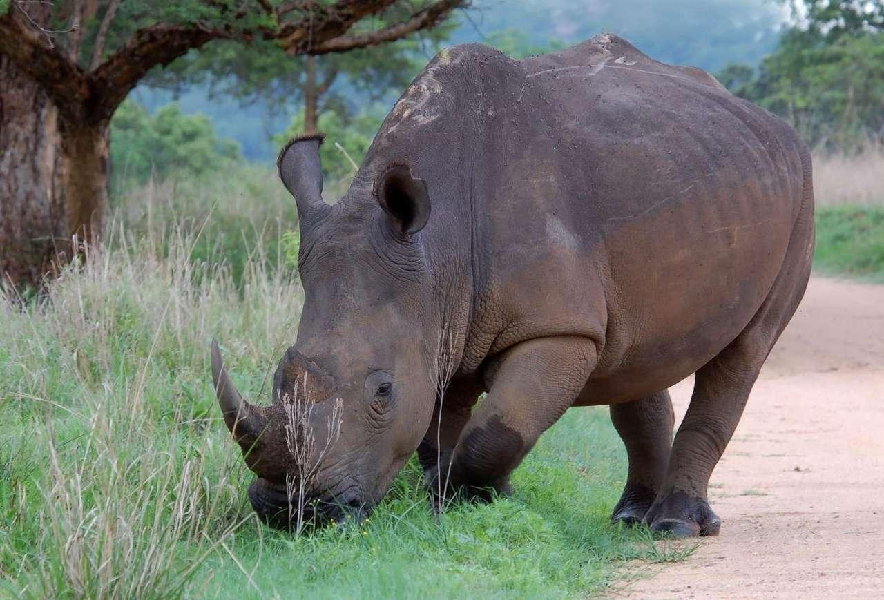 Nosorożec biały - Nosorożec biały (nazywany także afrykańskim) to największy z nosorożców żyjących obecnie. Osiąga niemal 2 metry wysokości i ponad 4 metry długości. Nazwa tego gatunku ma niewiele wspólne (10×7)