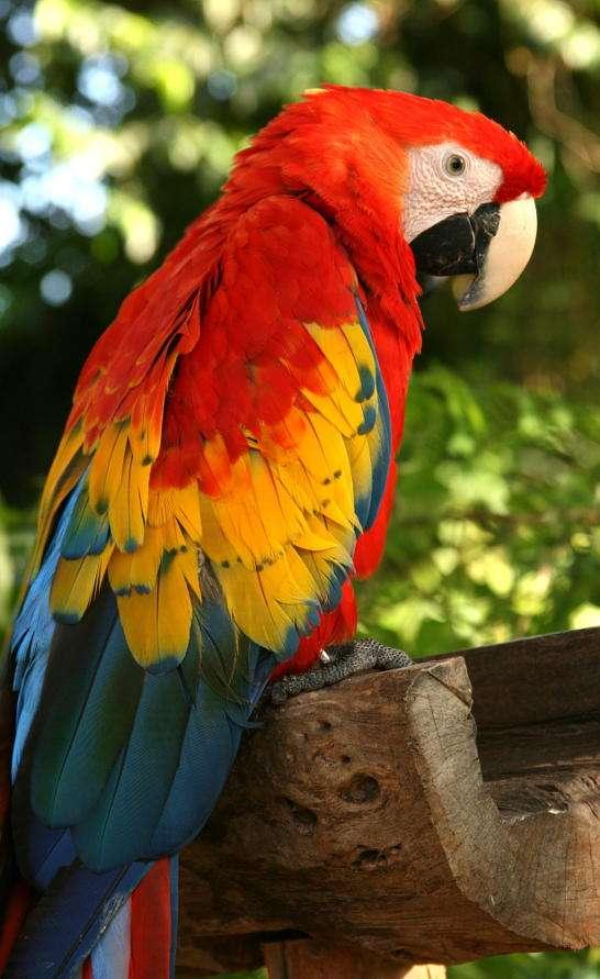 Papuga - Papugi to - przez swoje barwne upierzenie oraz umiejętność naśladowania dźwięków ludzkich - jedne z najbardziej charakterystycznych ptaków na świecie. Papugi zamieszkują głownie strefy mię (7×11)