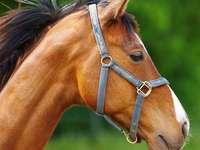 Koń maści gniadej puzzle ze zdjęcia