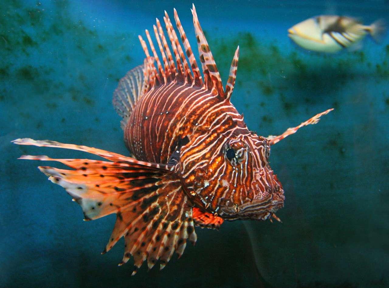 """Ryba """"lew"""" - Ryba """"lew"""" (lew-ryba) to kolorowa ryba zamieszkująca rafy koralowe na płytkich wodach morskich. """"Lwy"""" charakteryzują się posiadaniem kolorowych łusek i jadowitych kolców na płetwach. Kolce te p (7×5)"""