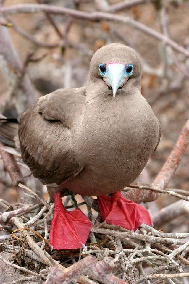 Głuptak czerwononogi - Głuptak jest ptakiem charakteryzującym się czerwonymi nogami oraz szarym dziobem z różową nasadą. Głuptaki najczęściej przebywają w grupach, rzadko samotnie. Często spotkać je można w po (7×9)