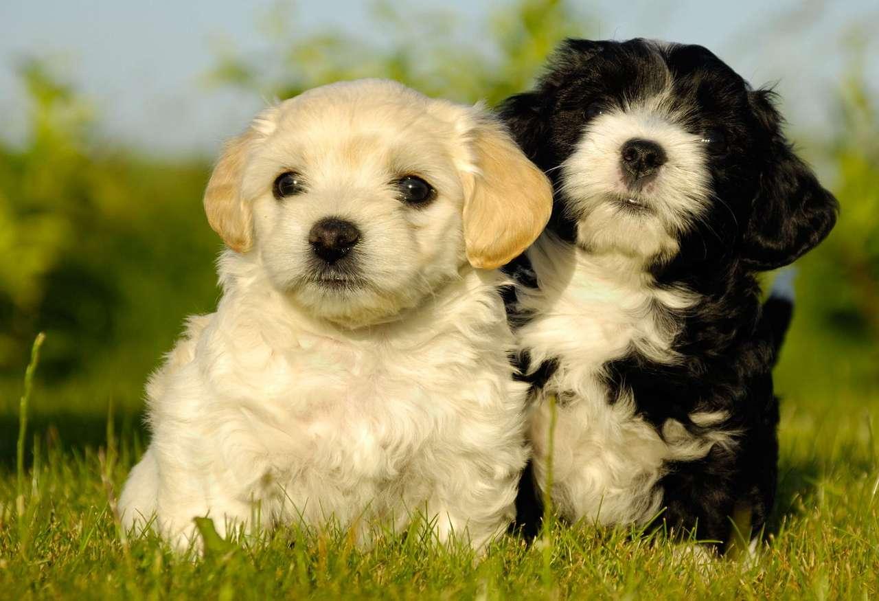 Szczenięta - Szczenięciem nazywa się psa pomiędzy pierwszym tygodniem a dwunastym miesiącem życia. Szczenięta przychodzą na świat głuche i ślepe. Brak wzroku i słuchu rekompensowany jest u szczeniąt po (7×5)