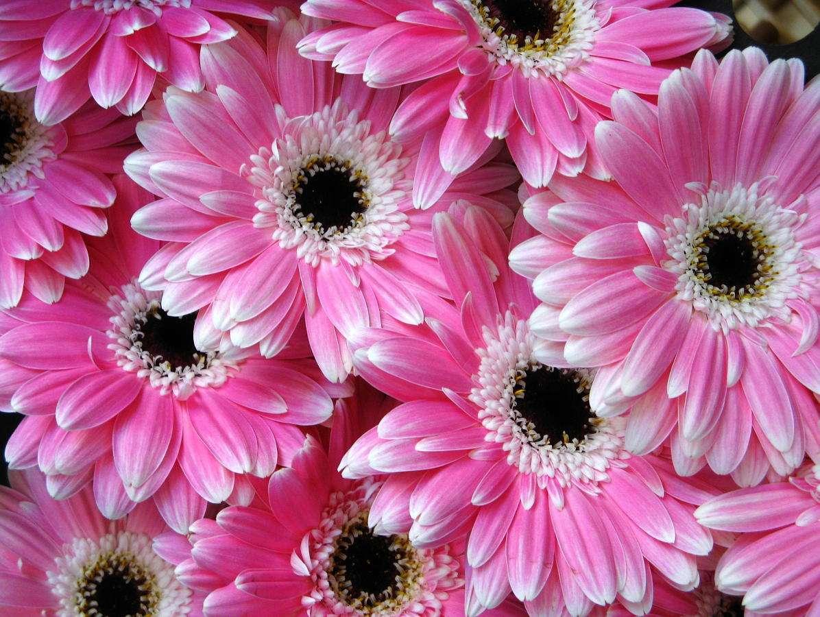 Różowe gerbery - Gerbera to najpopularniejszy kwiat z rodziny astrów, pochodzący z Afryki i Azji. Najczęściej występuje w kolorze żółtym, jednak spotkać można także inne barwy: czerwone, białe, pomarańczo (13×10)