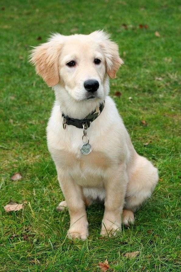 """Golden retriever - Golden retriever jest jedną z ras psów aportujących. Nazwa nawiązuje do doskonałych umiejętności aportowania tych psów. W wolnym tłumaczeniu """"golden retriever"""" znaczy """"złoty aporter"""". Bardzo (5×7)"""