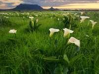 Kwiaty na tle Góry Stołowej (RPA)