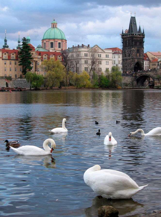 Praskie łabędzie na Wełtawie (Czechy) - Praga jest stolicą Republiki Czeskiej. Powstała w wyniku połączenia pięciu ośrodków funkcjonujących już od średniowiecza. Są to: Stare Miasto, Nowe Miasto, Josefov, Mała Strana i Hradczany (8×11)