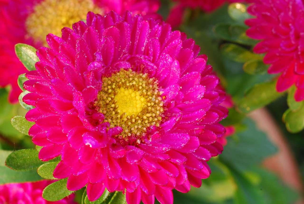 Różowa chryzantema - Kolor różowy jest kojarzony z dziecięcością, delikatnością i dziewczęcością.  W terapii barwami jest wykorzystywany jako pobudzający organizm, sprzyjający zabawie i zjednywaniu sobie sympa (12×8)