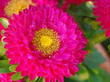 Różowa chryzantema
