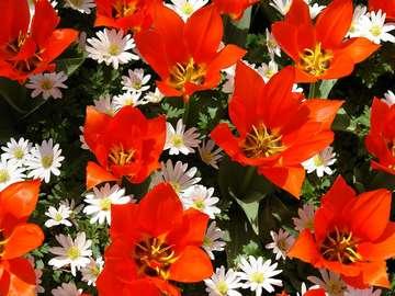 Czerwone i białe kwiaty z uprawy w Keukenhof (Holandia)