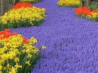 Dywan kwiatów w Keukenhof (Holandia)