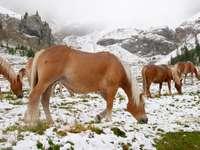 Dzikie Konie w alpejskich Dolomitach (Włochy)