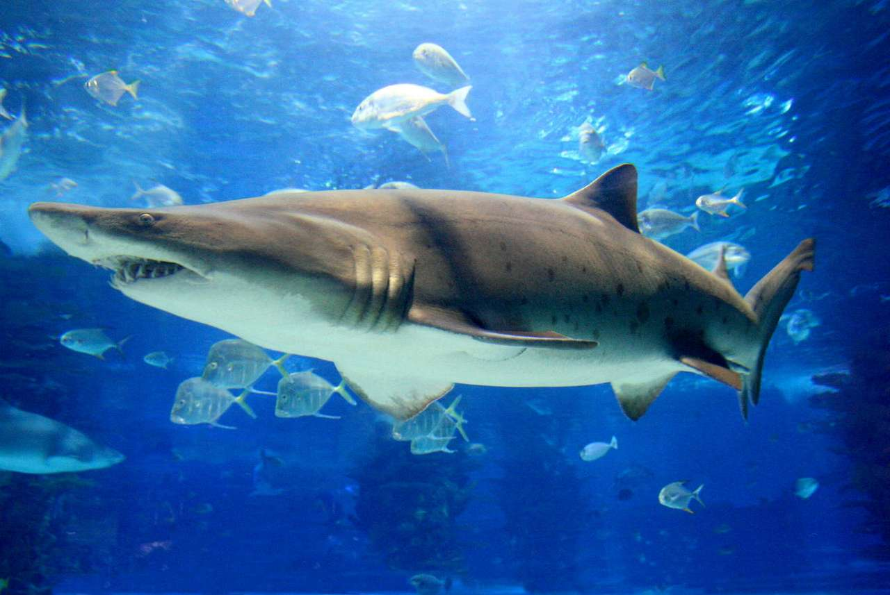 Rekin (tawrosz piaskowy) - Rekiny to chrzęstnoszkieletowe ryby drapieżne, których przodkowie pochodzą z epoki dewonu. Zostały wyposażone prze naturę w zdumiewające zmysły. Opócz wzroku, słuchu, węchu, smaku i dotyku (8×5)