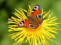Rusałka pawik zbierająca nektar puzzle online