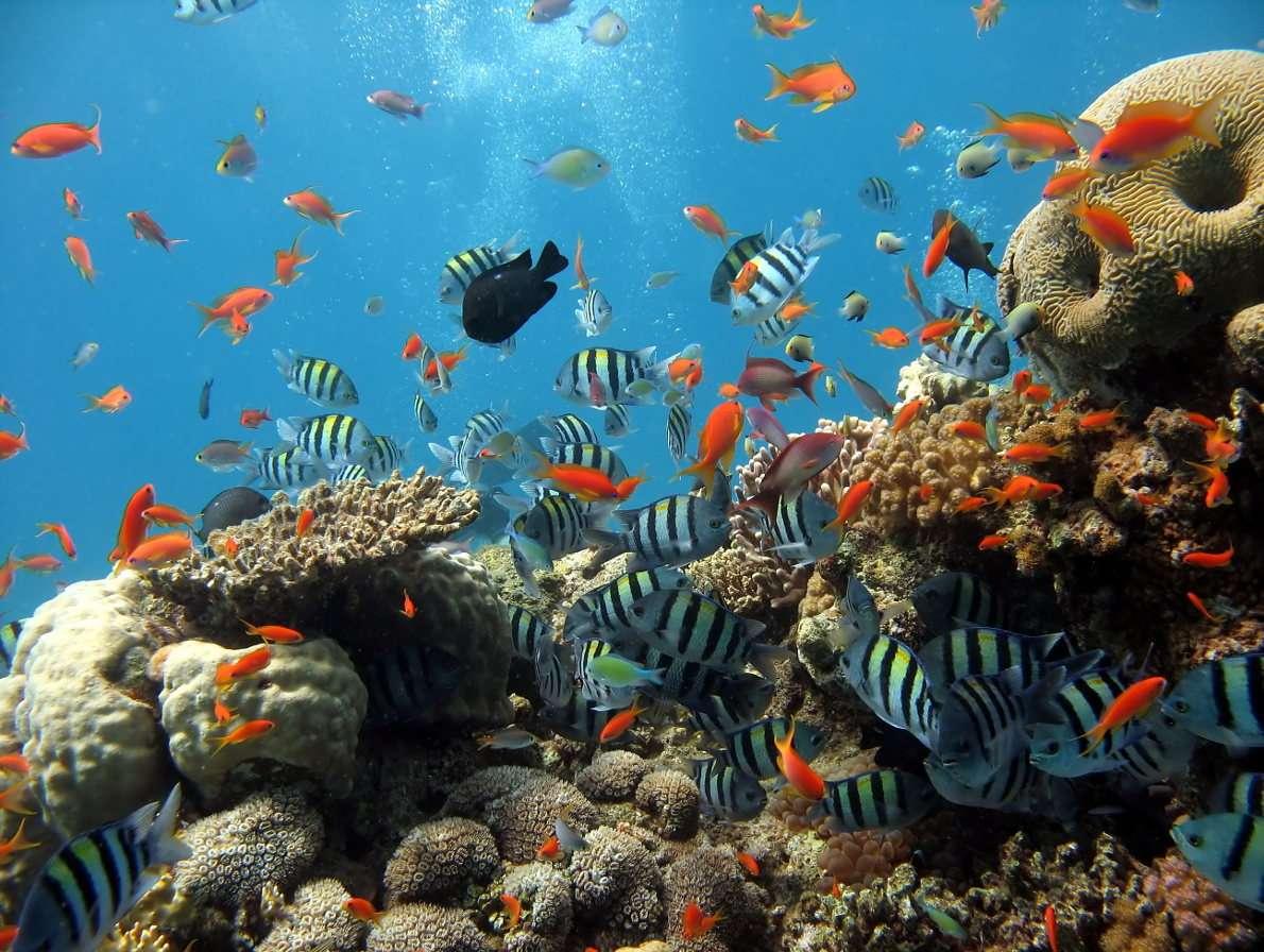 Rafa Koralowa Morza Czerwonego - Rafy koralowe tworzą się w wyniku występowania na jednym obszarze dużych ilości szkieletów takich organizmów jak mięczaki, otwornice czy koralowce, którym ten rodzaj raf zawdzięcza swą nazw (10×8)