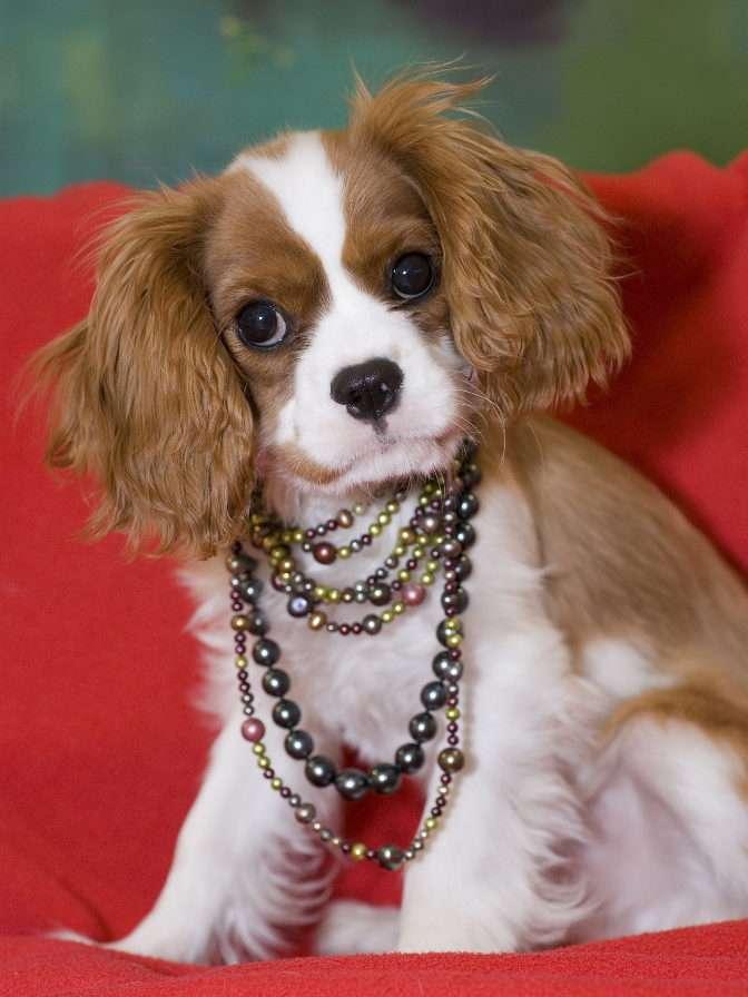 King charles spaniel w naszyjniku z pereł - King Charles Spaniel określany jest mianem psa arystokracji. Wskazuje na to już sama nazwa rasy. Spaniele zostały bowiem spopularyzowane w Europie już w średniowiecznej Anglii przez królów Henr (6×8)